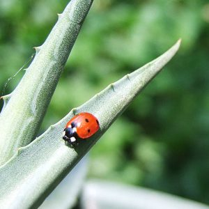 Coccinelle mexicaine